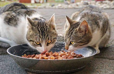 Кошки за едой